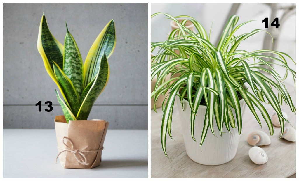 oczyszczanie powietrza następne rośliny